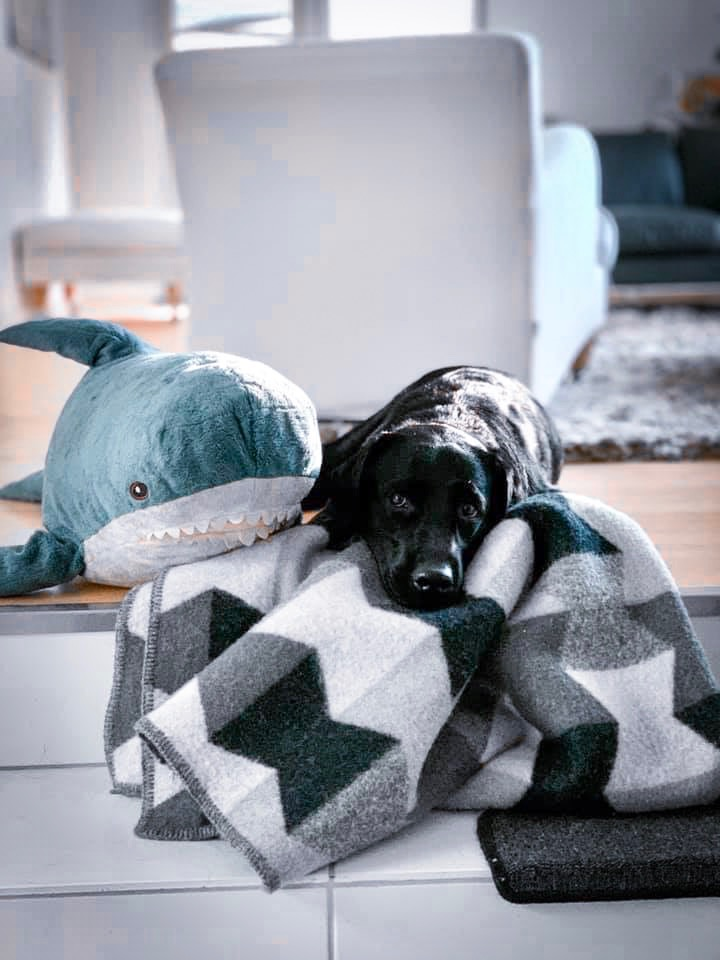 Musta labradorinnoutaja viltin ja Ikean sinivalaspeholelun kanssa