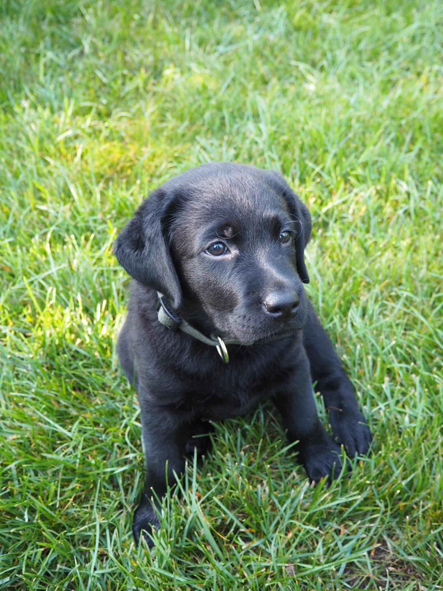 musta labradorinnoutajapentu nurmikolla