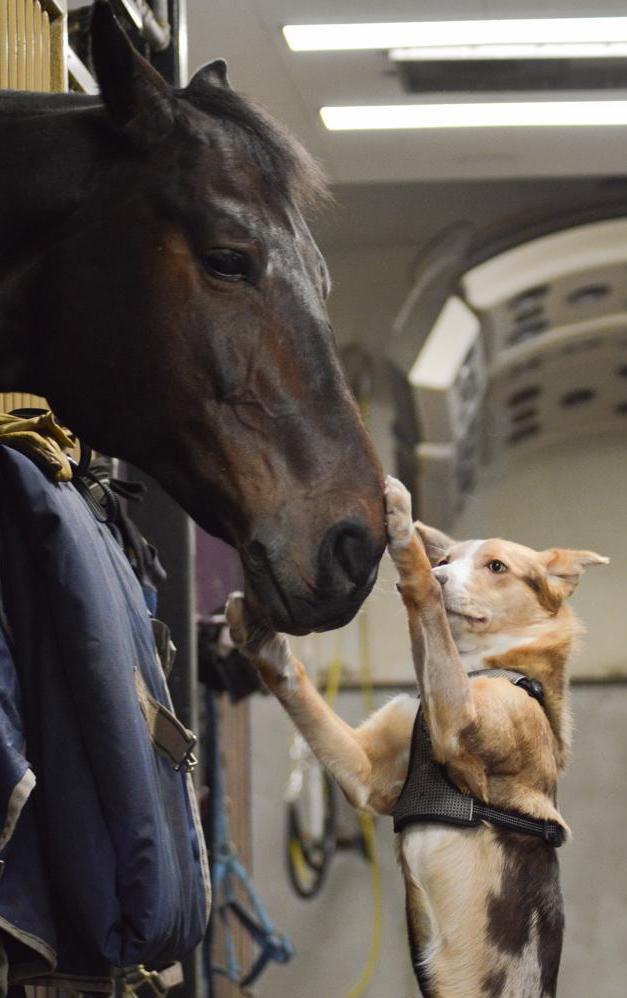 Hevostallilla Australian koolie -koira seisoo kahdella jalalla etutassut hevosen turvalla